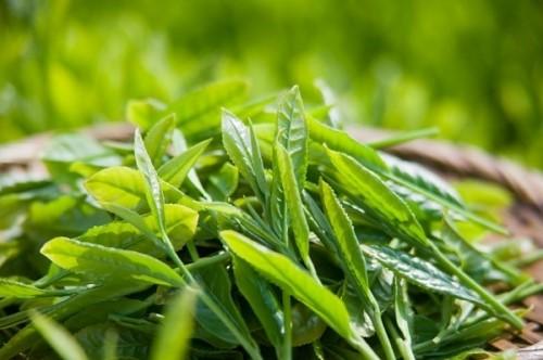 chữa ê buốt răng bằng lá trà xanh