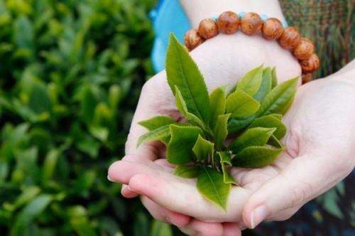 trà xanh giúp chữa bệnh đau buốt răng hiệu quả