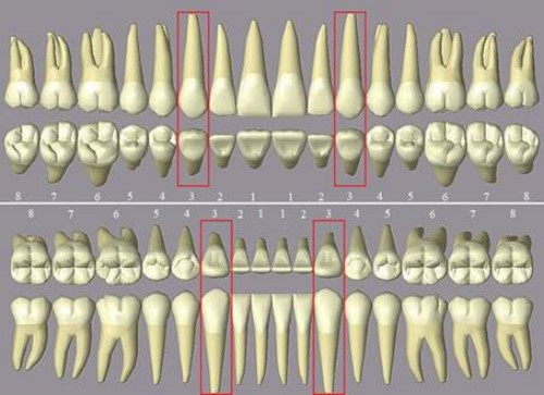 vị trí răng nanh