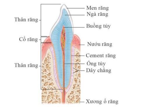 cấu tạo của răng nanh