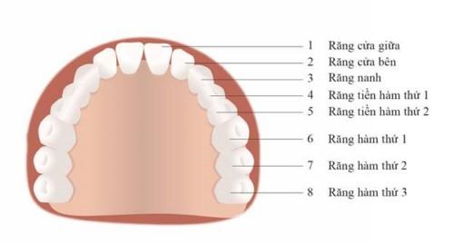 vị trí các răng trên cung hàm