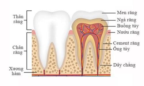 cấu tạo của răng hàm