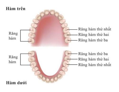 vị trí răng hàm