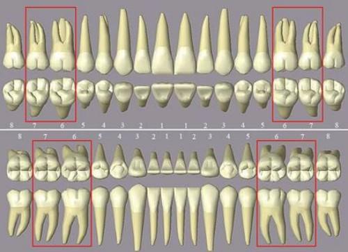 vị trí răng hàm trên cung răng
