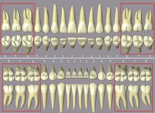 vị trí của các răng trên cung hàm