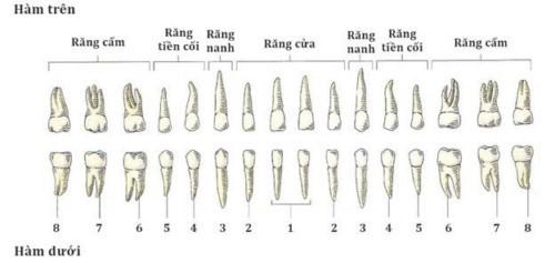 sơ đồ chân răng