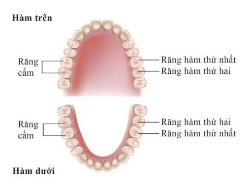 vị trí các răng cấm trên cung hàm