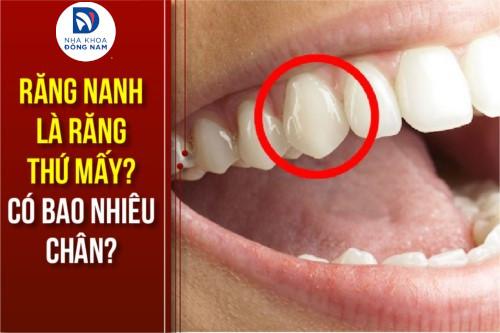 Răng nanh là răng thứ mấy? Có bao nhiêu chân?