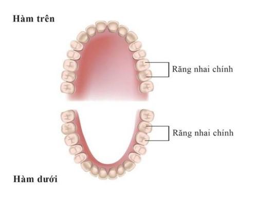 vị trí răng nhai trên cung hàm