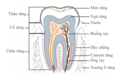 cấu tạo của răng nhai