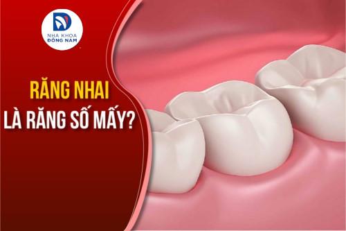 Răng nhai là răng số mấy