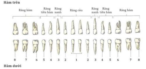 vị trí các răng