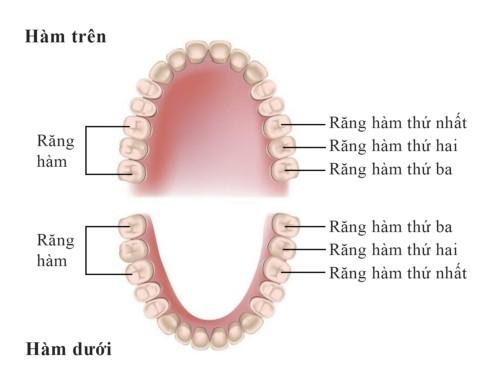 vị trí các răng hàm