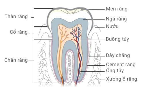 cấu tạo của răng