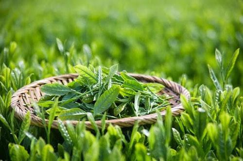 Điều trị tụt lợi bằng trà xanh